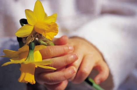 Child hands holding Daffodils